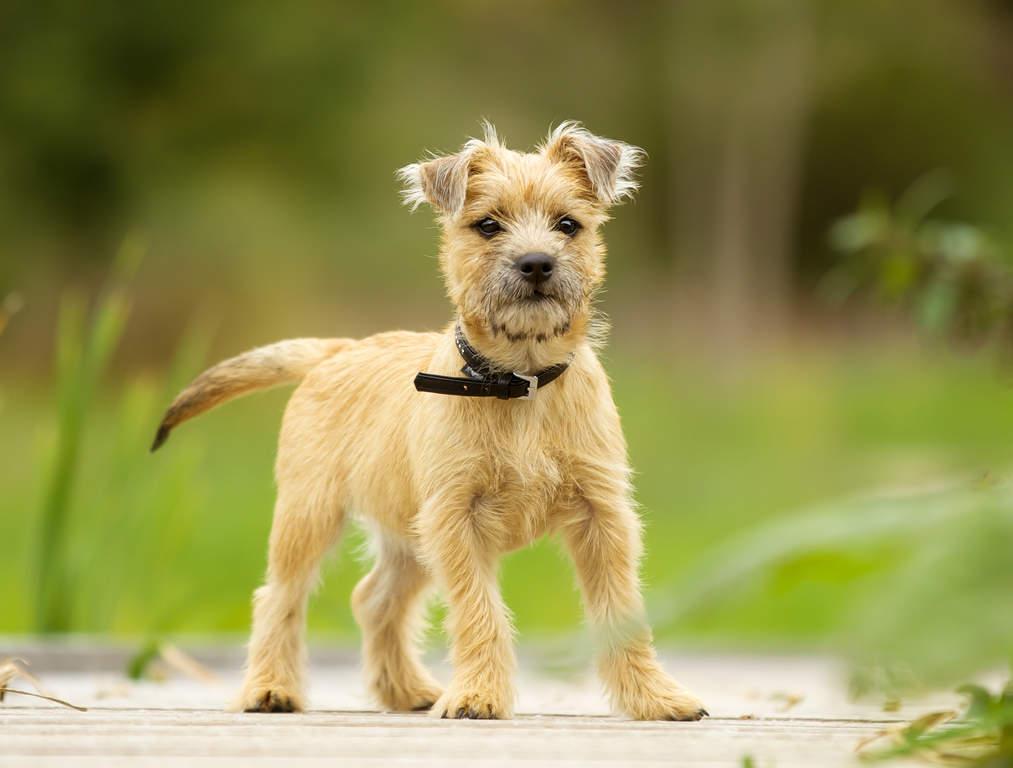 Small Dog Tibet