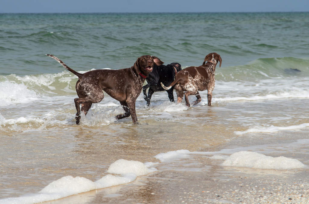 Dog-German_short_haired_pointer-Some_German_short_haired_pointers_on ...