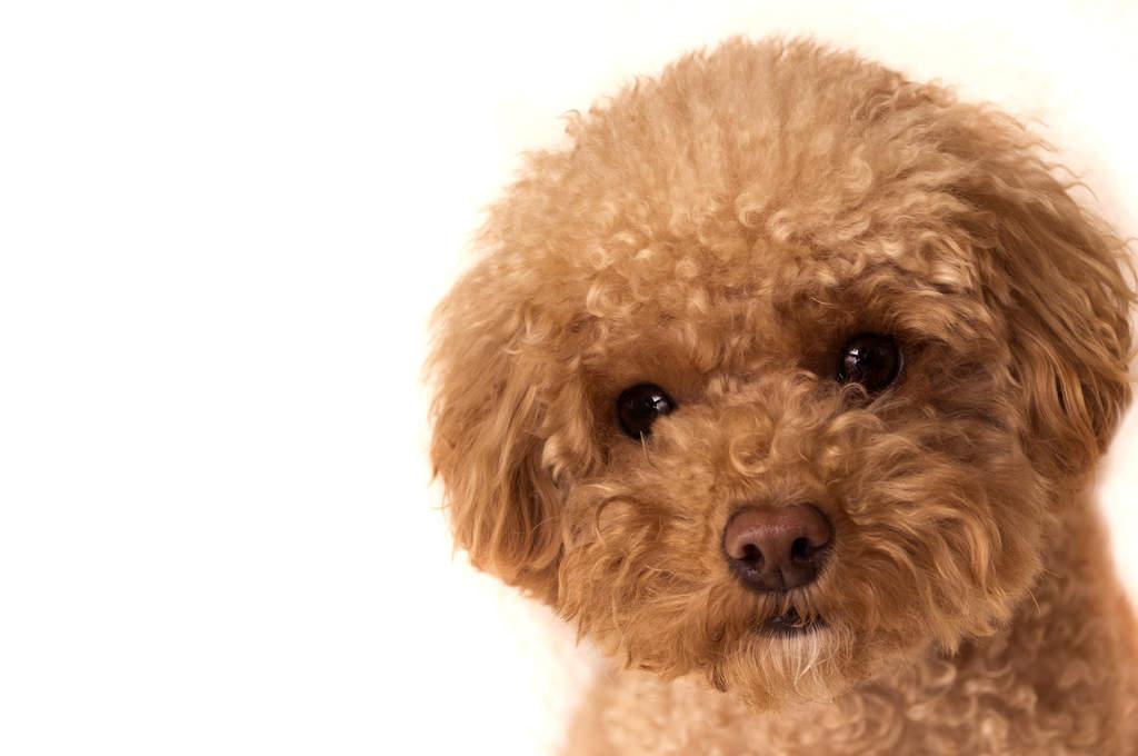 Toy-Pudel | Hunde | Informationen zu den Rassen | Omlet