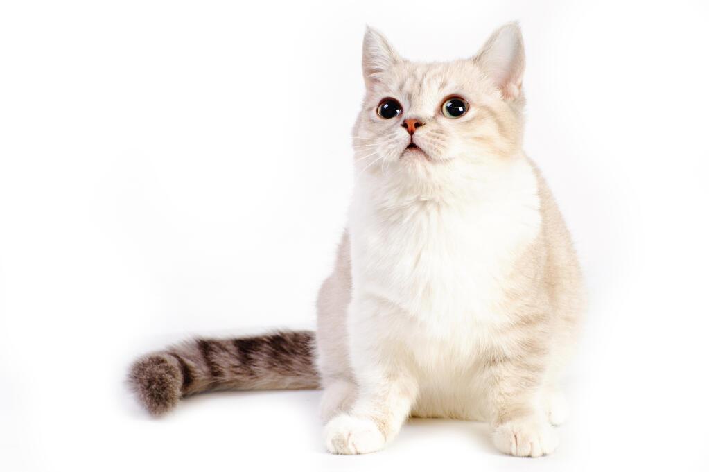 Munchkin | Katzen | Informationen zu den Rassen | Omlet