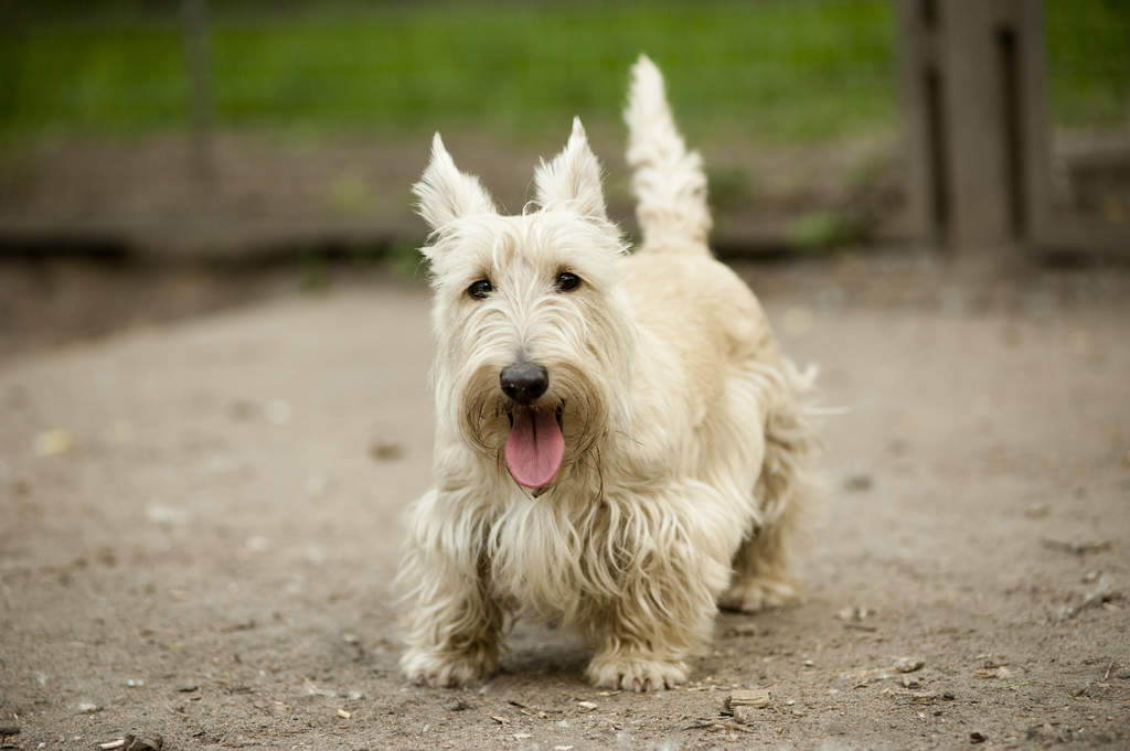 West Highland Terrier Dog Show