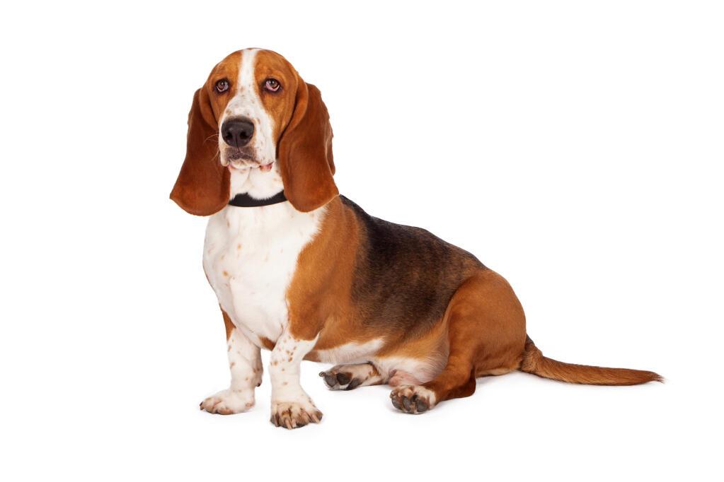 A Bloodhound To Die For Basset Hound   Hunde  ...