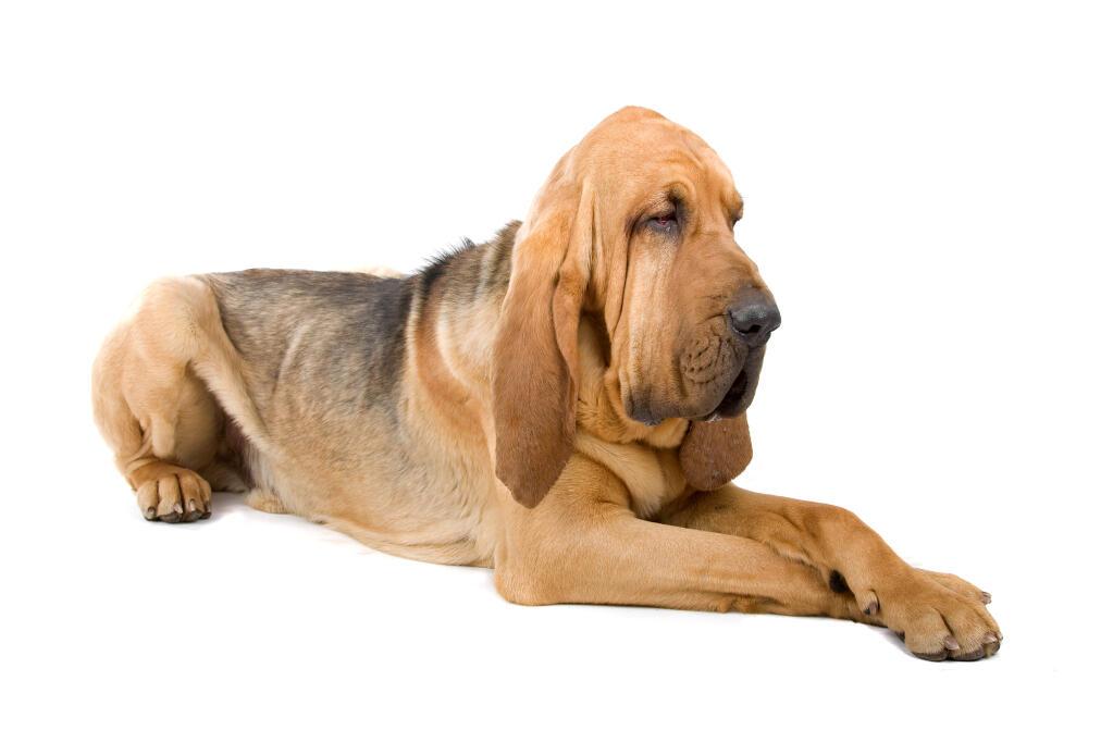 bloodhound hunde informationen zu den bienenarten omlet
