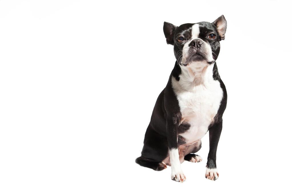 Intelligent Small Dog Breeds