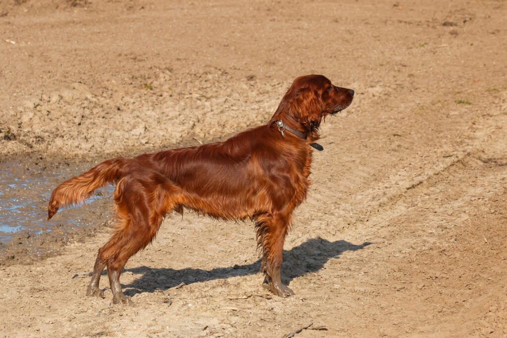 West Highland Yorkshire Terrier Cross Irish Red Setter | Hun...