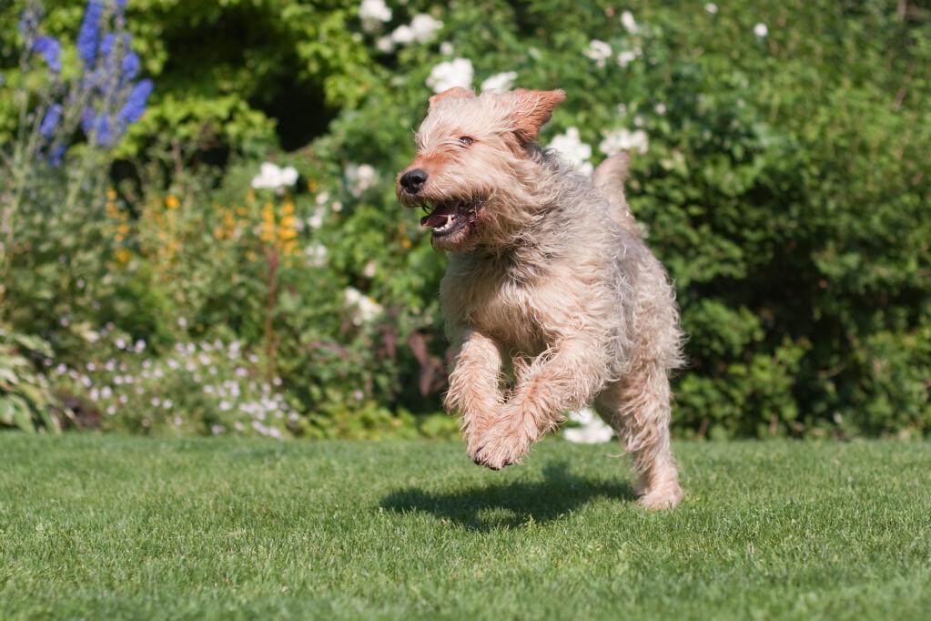 Otterhund Hunde Rassen Information Omlet
