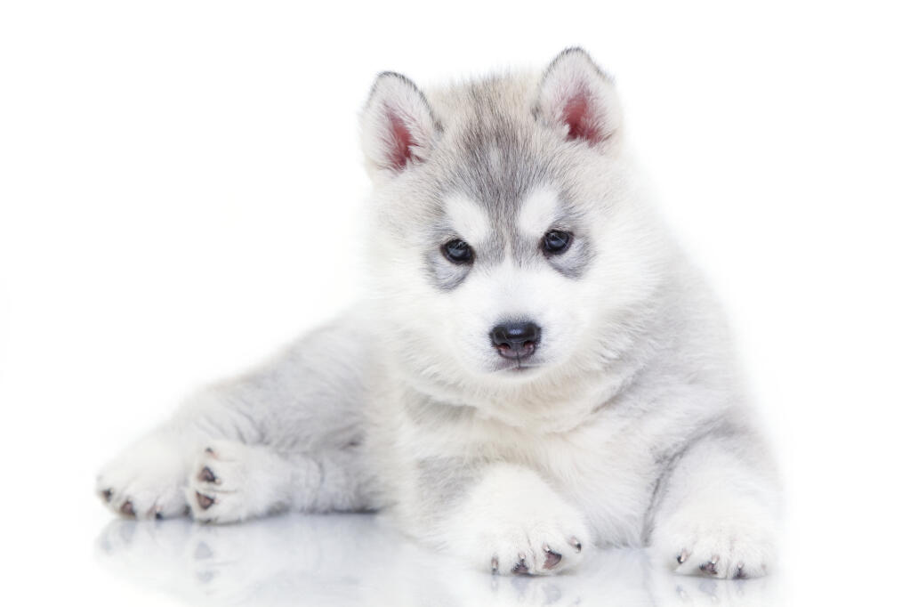 White Dog Blue Eyes Corgi Husky