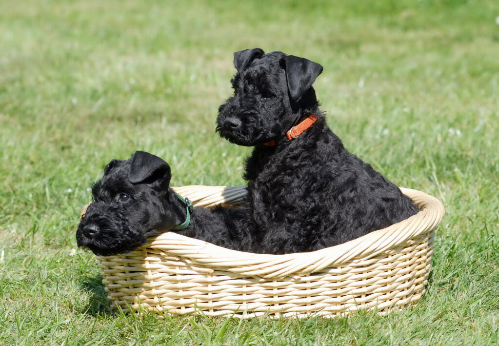 kerry blue terrier hunde informationen zu den bienenarten omlet. Black Bedroom Furniture Sets. Home Design Ideas