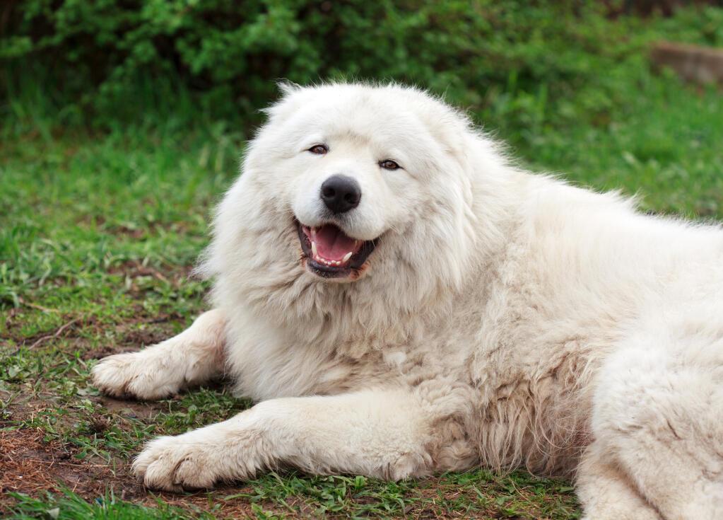 Maremma Sheepdog Hunde Informationen Zu Den Rassen Omlet