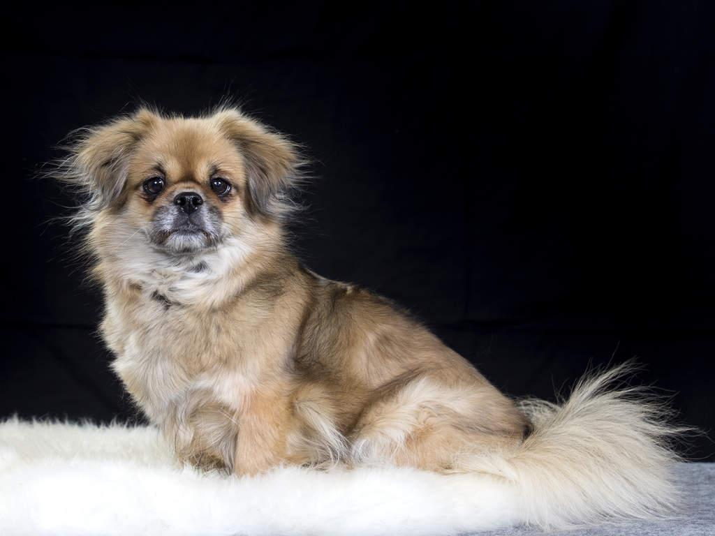 Small Dog Breeds That Dont Bark English Mastiff