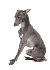 A male Italian Greyhound sitting neatly with his ears pushed back