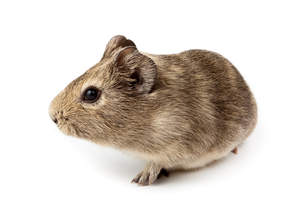 An Agouti Guinea Pig with lovely little ears