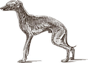 A scetch of an Italian Greyhound