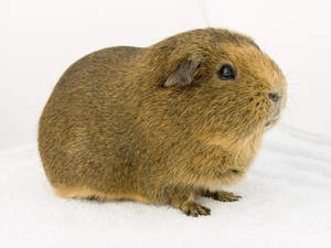 The lovely thick fur of an Agouti Guinea Pig