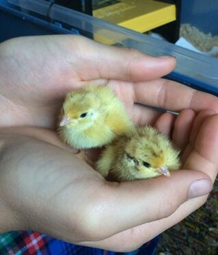 Some chicks hatched last year