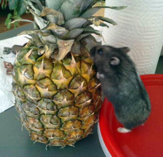 Norma versus pineapple!
