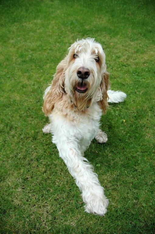 Gbgv Dog Breed