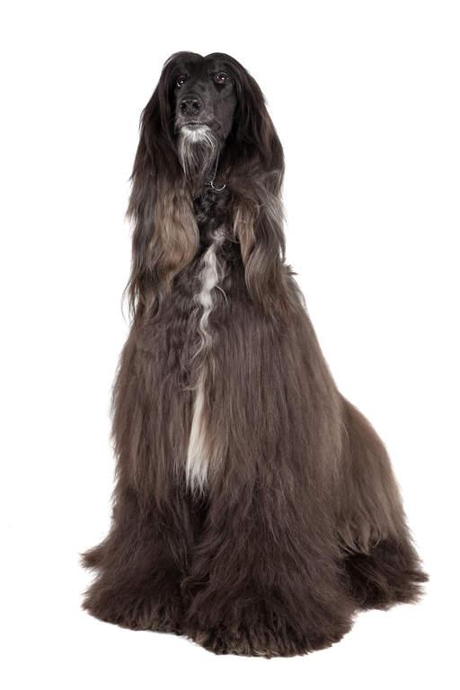 Afghanischer Windhund Hunde Rassen Information Omlet
