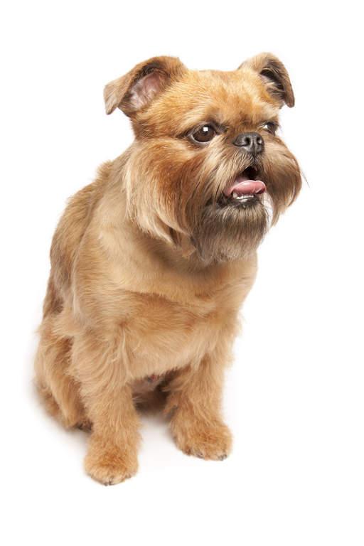 Belgischer Zwerggriffon Hunde Rassen Information Omlet