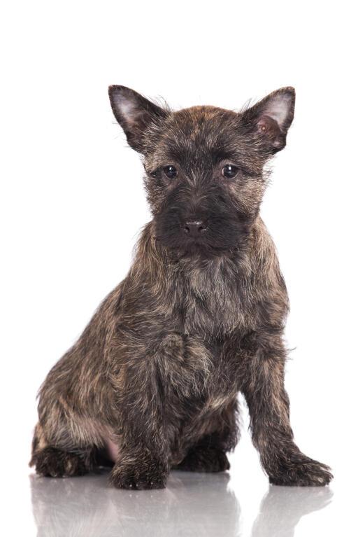 Cairn Terrier Hunde Rassen Information Omlet