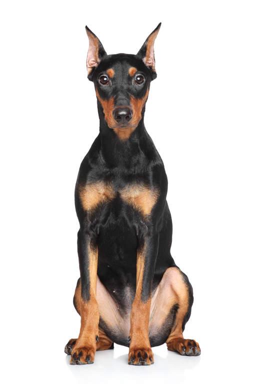 German Pinscher   Hund...