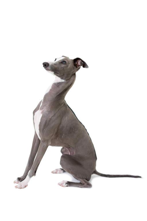 Italian Greyhound Hunde Informationen Zu Den