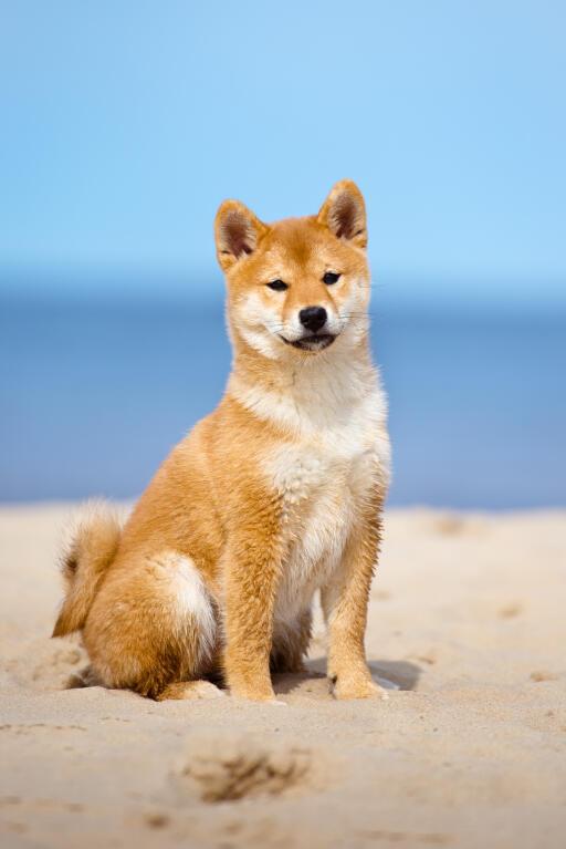 Japanese Shiba Inu Hunde Informationen Zu Den
