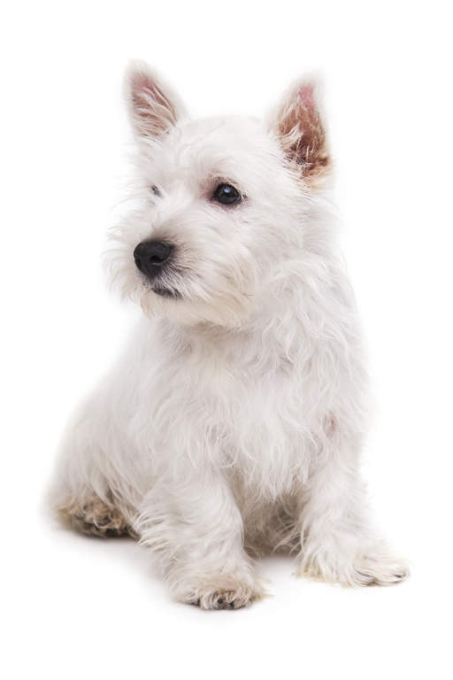West Highland Terrier | Hunde | Informationen zu den Rassen | Omlet