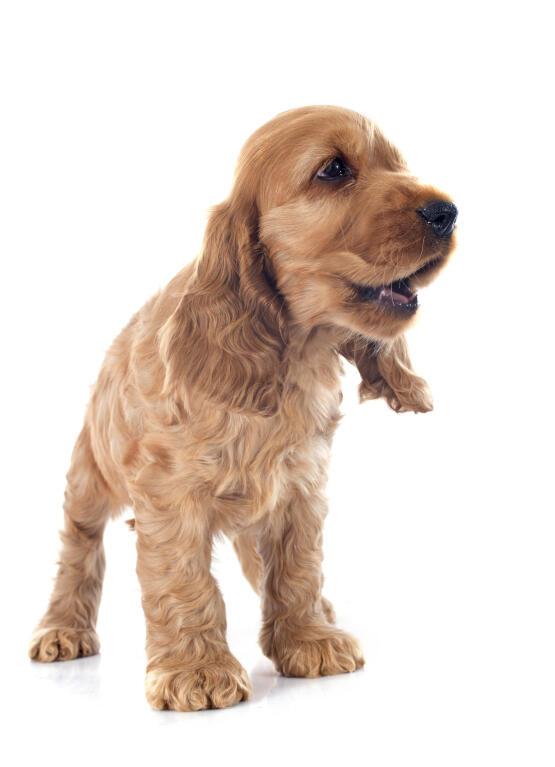 Cocker Spaniel Englisch Hunde Informationen Zu Den Bienenarten