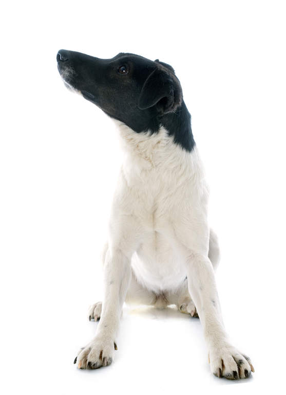 Foxterrier Glatthaar Hunde Informationen Zu Den