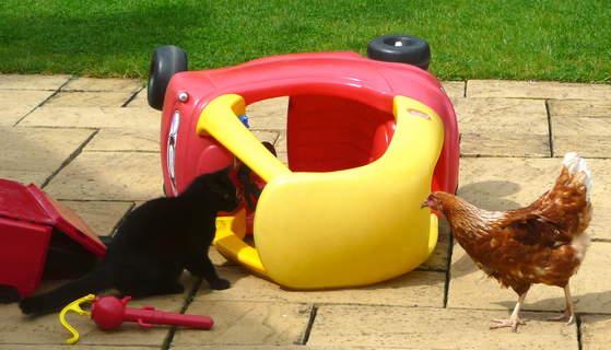 Eine liebe, junge, schwarze Katze wird einer Omlet Gingernut Ranger Henne vorgestellt