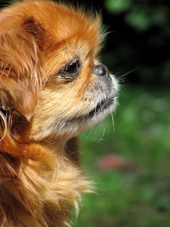 Pekingese Hunde Informationen Zu Den Rassen Omlet