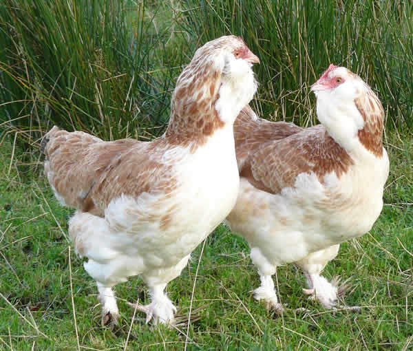 Faverolle For Sale | Faverolle | Chickens | Breed Information | Omlet