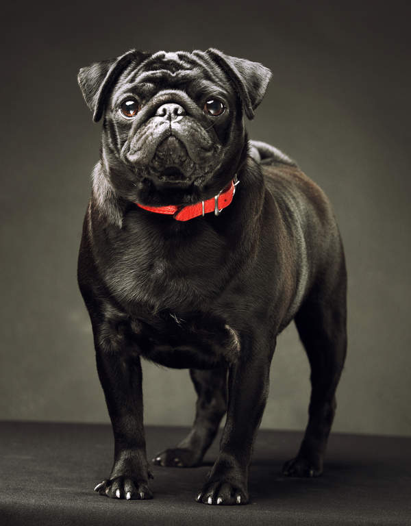 Mops | Hunde | Informationen zu den Rassen | Omlet