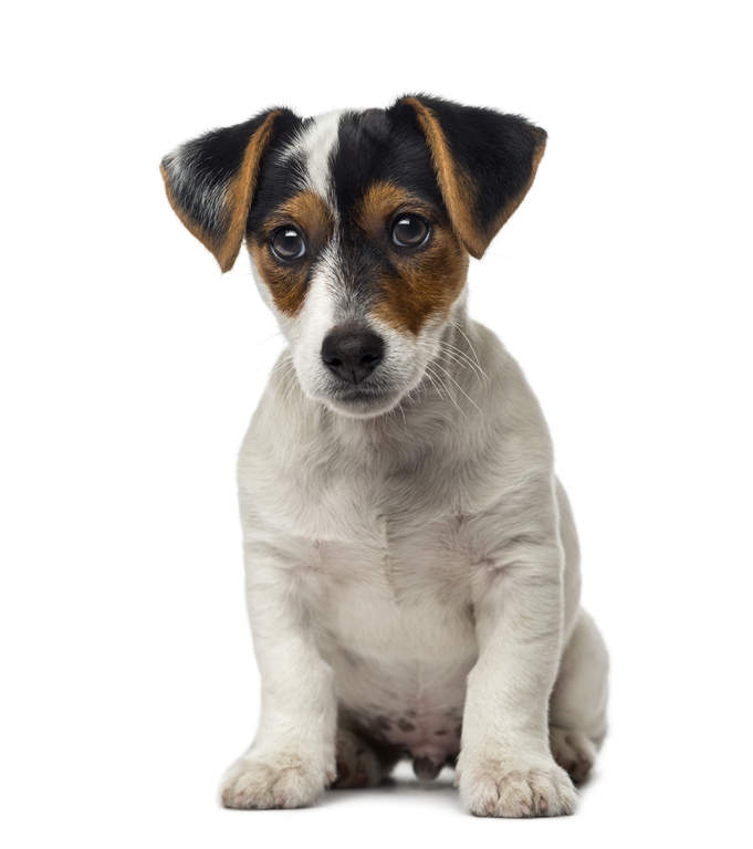 Small Dogs Breed Extinct England