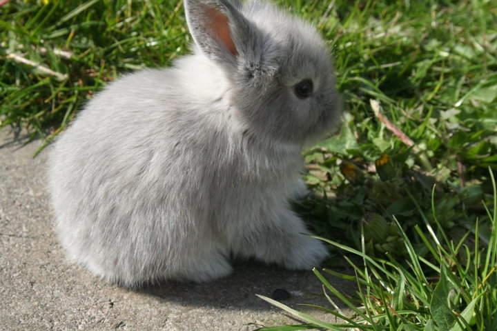 Dwarf lop rabbits - photo#7