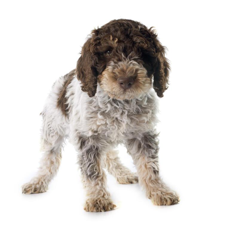 Bolognese Dog Sale Australia