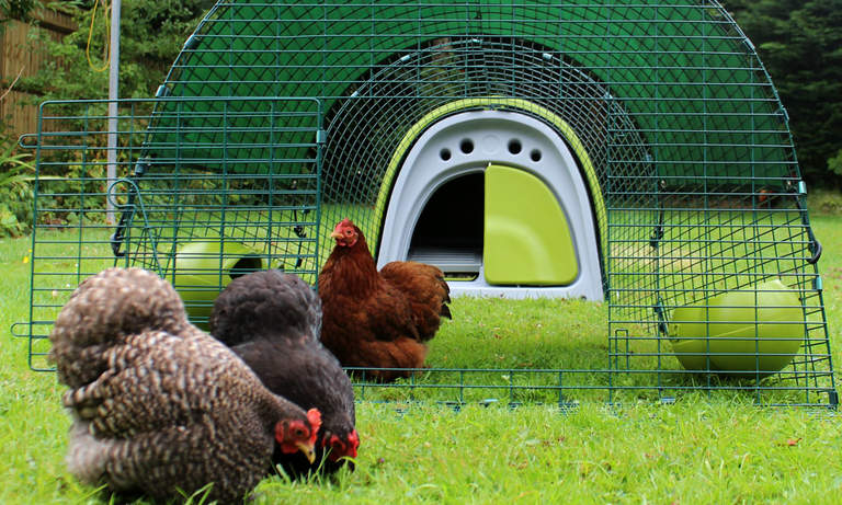 Open the run door to let your hens free-range in the garden!