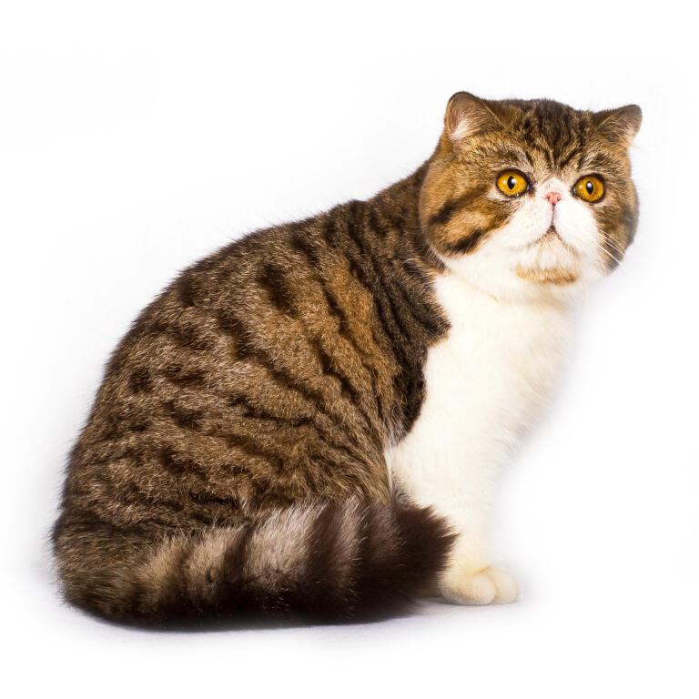 Exotic Shorthair Katzen Informationen Zu Den Rassen Omlet