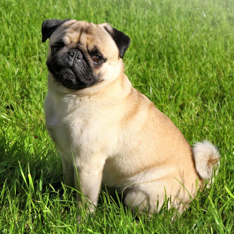 Mops Hunde Informationen Zu Den Rassen Omlet