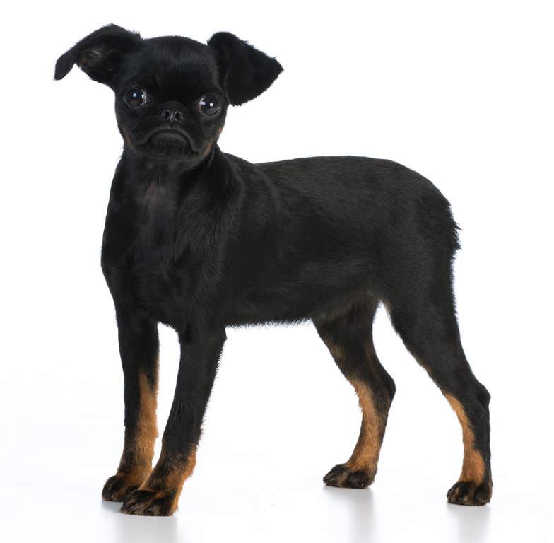 Belgischer Zwerggriffon Hunde Informationen Zu Den