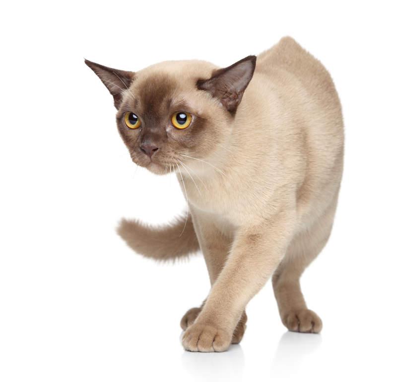 Burma-Katze | Katzen |...