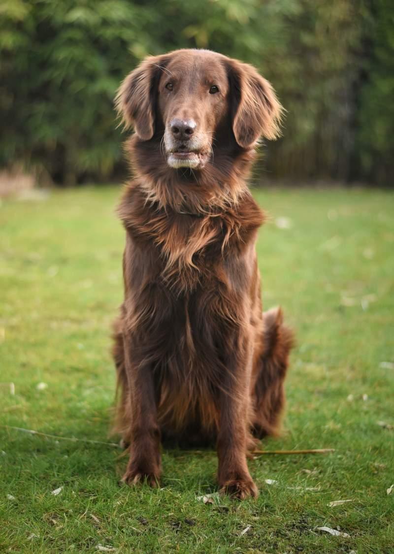 Flat Coated Retriever Hunde Informationen Zu Den Bienenarten Omlet