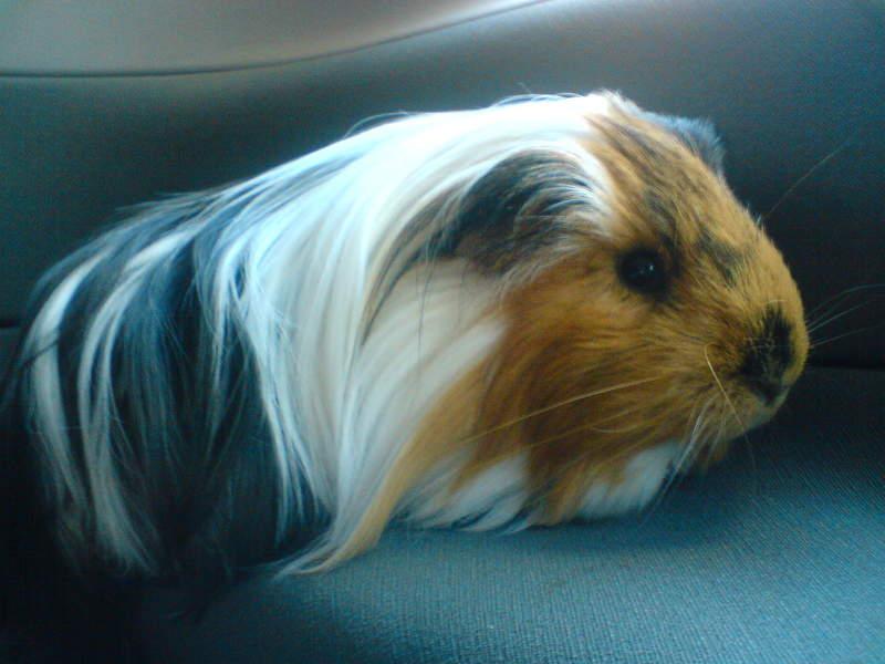 Sheltie guinea pigs - photo#2