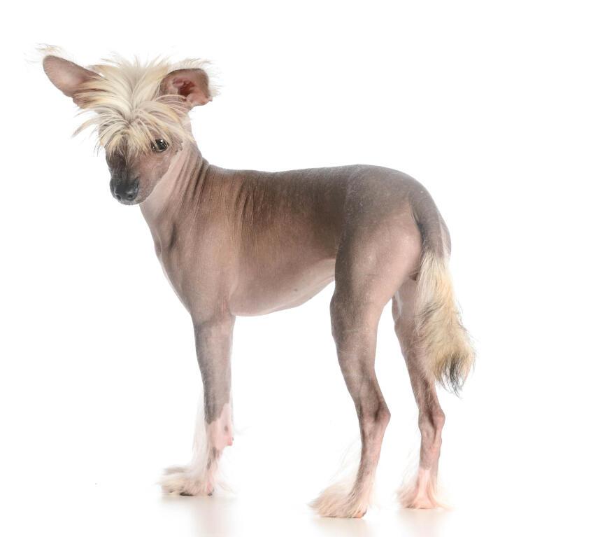 Chinesischer Schopfhund Hunde Rassen Information Omlet