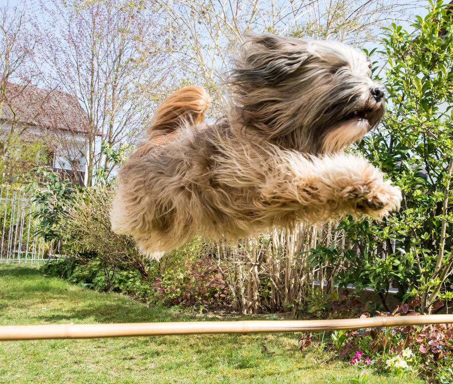 Tibet Terrier Hunde Informationen Zu Den Bienenarten