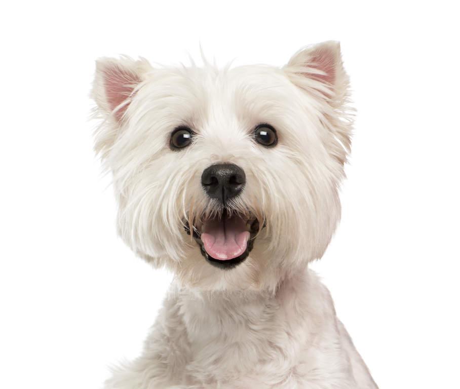 west highland terrier hunde informationen zu den