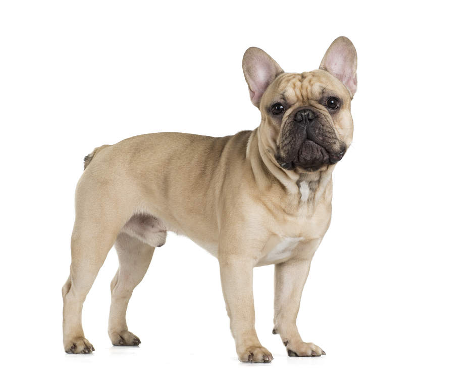 Breeds Of Dogs Bulldogs