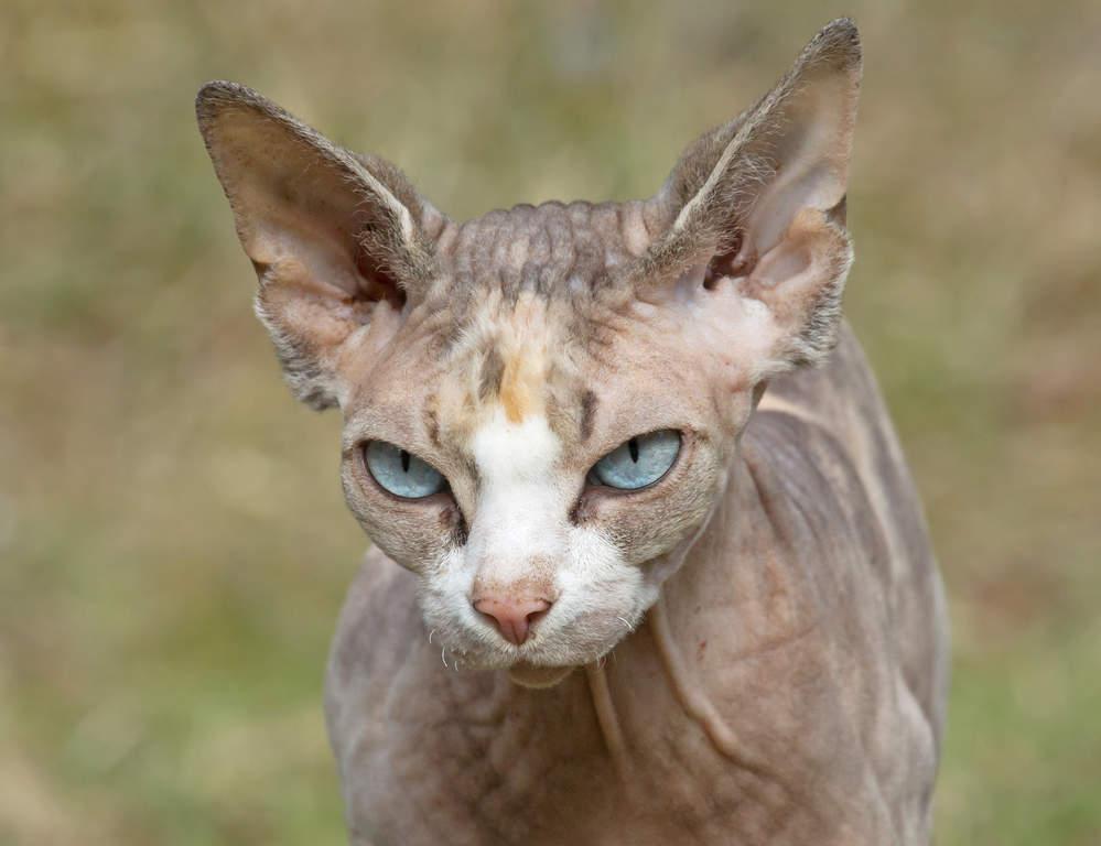 Sphynx Katzen Informationen Zu Den Rassen Omlet