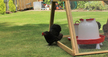 Boughton chicken coop with free range and full length side doors open.